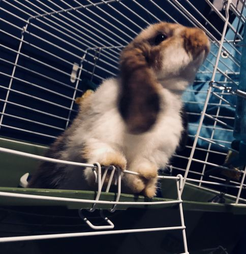 Holland Lop Rabbits for sale in New Holland, PA 17557, USA. price 65USD