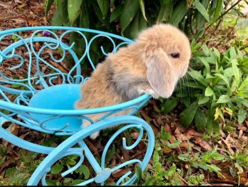 Holland Lop Rabbits for sale in Raleigh, NC, USA. price 35USD