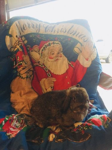 Holland Lop Rabbits for sale in Isanti, MN 55040, USA. price 20USD