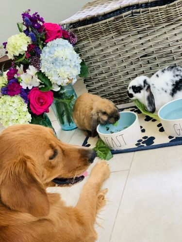 Holland Lop Rabbits for sale in Spring, TX 77373, USA. price -USD