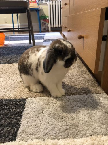Holland Lop Rabbits for sale in Brooklyn, NY, USA. price 50USD