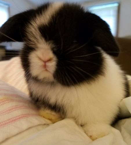 Holland Lop Rabbits for sale in Mountain Top, PA 18707, USA. price 75USD