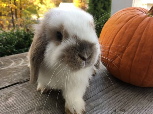 Holland Lop Rabbits for sale in Saratoga Springs, NY 12866, USA. price 120USD