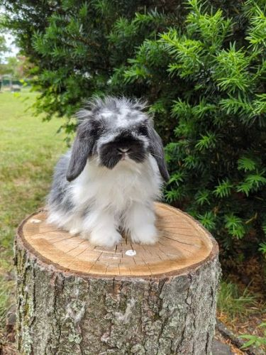 Holland Lop Rabbits for sale in East Brunswick, NJ 08816, USA. price 150USD
