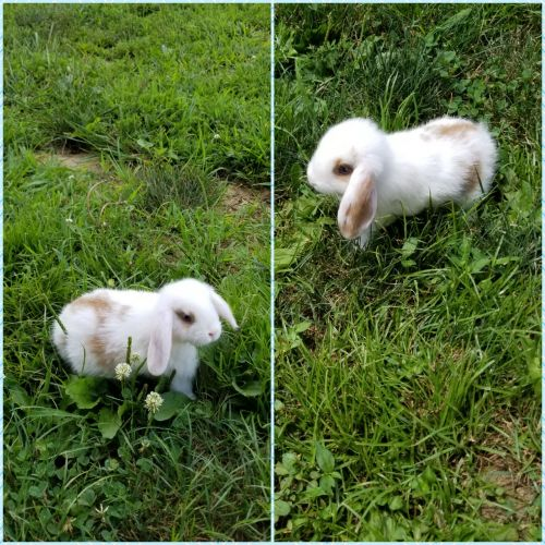 Holland Lop Rabbits for sale in Leitchfield, KY 42754, USA. price 30USD