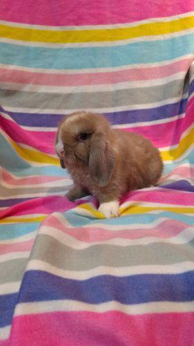 Holland Lop Rabbits for sale in Avella, PA 15312, USA. price 100USD
