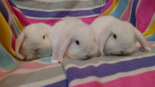 Holland Lop Rabbits for sale in Avella, PA 15312, USA. price 60USD