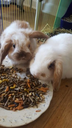 Holland Lop Rabbits for sale in 10916 Education Way, Charlotte, NC 28262, USA. price 50USD