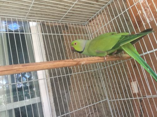 Indian Ringneck Birds for sale in Azusa, CA 91702, USA. price -USD