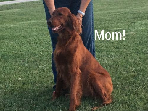 Irish Doodles Puppies for sale in Marion, KS 66861, USA. price 1200USD