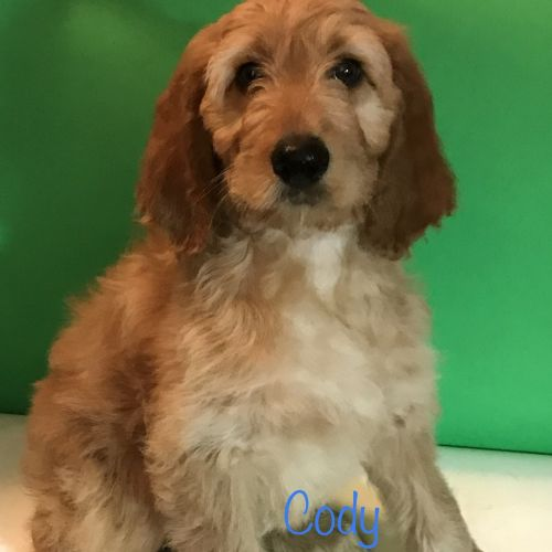 Irish Doodles Puppies for sale in Edgewater, FL, USA. price 800USD