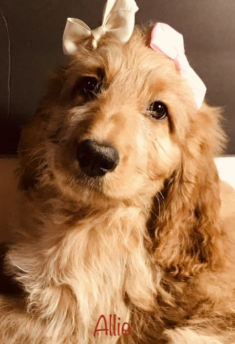 Irish Doodles Puppies for sale in Edgewater, FL, USA. price 900USD