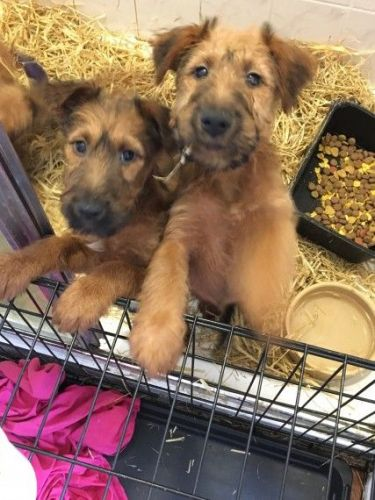 Irish Terrier Puppies for sale in Hinesville, GA 31313, USA. price 500USD