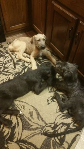 Irish Wolfhound Puppies for sale in Springfield, OH, USA. price 2000USD
