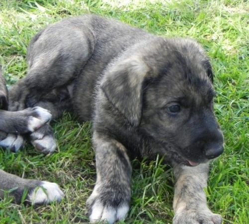 Irish Wolfhound Puppies for sale in Los Angeles, CA, USA. price 600USD