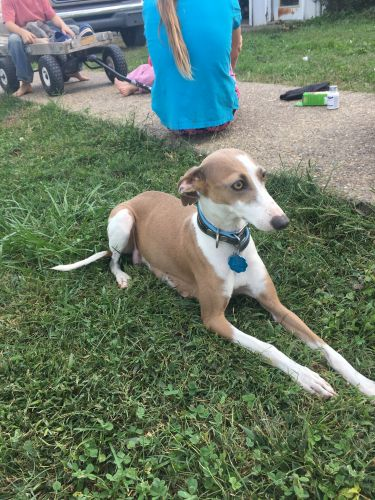 Italian Greyhound Puppies for sale in Lewisburg, KY 42256, USA. price 1000USD