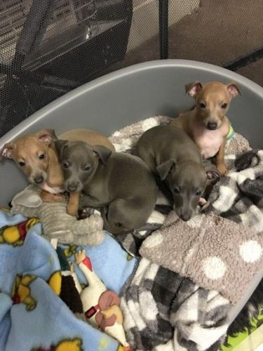 Italian Greyhound Puppies for sale in Los Angeles, CA, USA. price 452USD