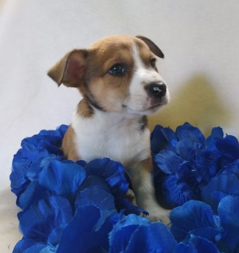 Jack Russell Terrier Puppies for sale in Birch Run, MI 48415, USA. price 200USD