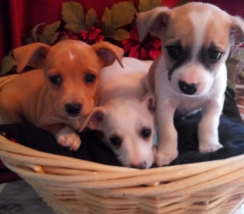 Jack Russell Terrier Puppies for sale in Clio Rd, Clio, MI, USA. price 125USD
