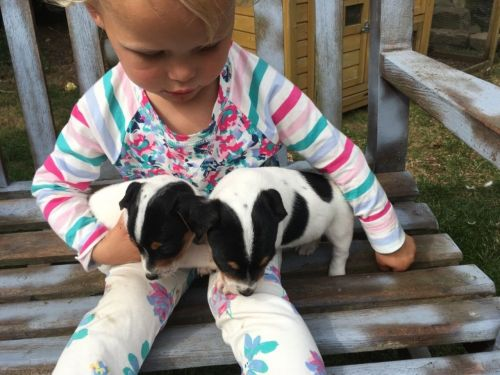 Jack Russell Terrier Puppies for sale in Phoenix, AZ, USA. price -USD