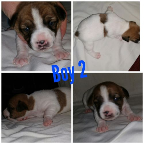 Jack Russell Terrier Puppies for sale in Howard, OH 43028, USA. price 200USD