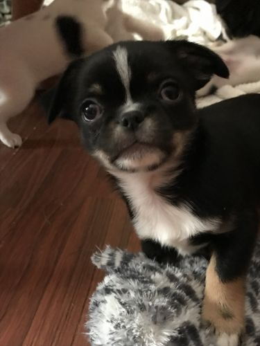 Japanese Chin Puppies for sale in Buffalo, MN 55313, USA. price 300USD