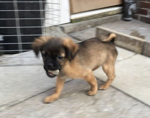 Jug Puppies for sale in Jacksonville, FL, USA. price -USD