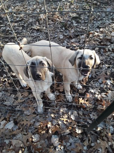 Kangal Dog Puppies for sale in Vevay, IN 47043, USA. price 500USD