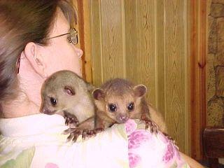 Kinkajou Animals for sale in Dallas, TX, USA. price -USD