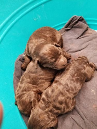 Labradoodle Puppies for sale in Moab, UT 84532, USA. price 900USD