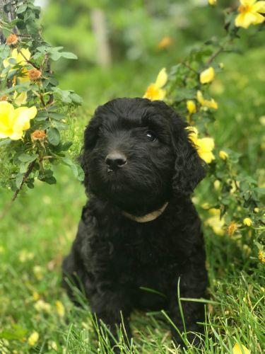 Labradoodle Puppies Sale Ellerbe Nc 1217 Hooblyus