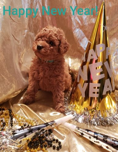 Labradoodle Puppies for sale in Two Rivers, WI, USA. price 1200USD