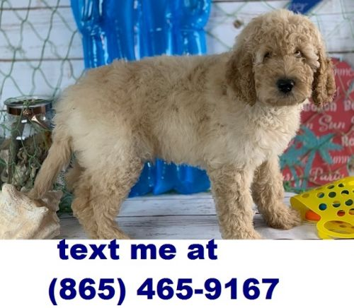 Labradoodle Puppies for sale in Colorado Springs, CO, USA. price 500USD