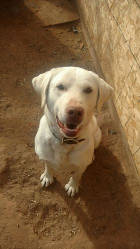 Labrador Retriever Puppies for sale in Moab, UT 84532, USA. price 800USD