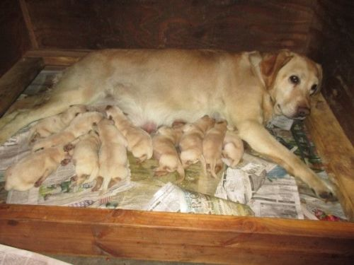Labrador Retriever Puppies for sale in Kamiah, ID 83536, USA. price 550USD