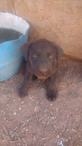 Labrador Retriever Puppies for sale in Moab, UT 84532, USA. price 500USD