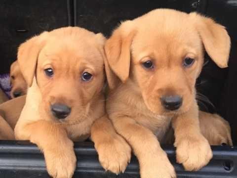 Labrador Retriever Puppies for sale in Phoenix, AZ, USA. price -USD