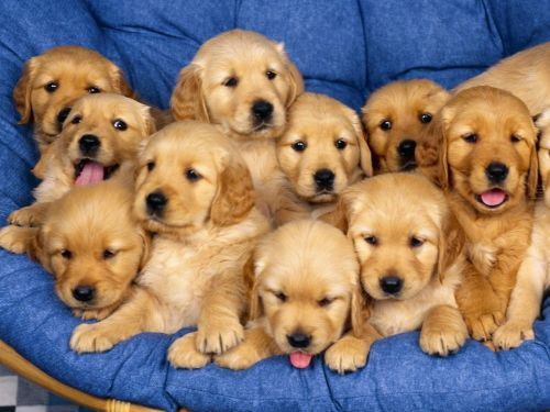 Labrador Retriever Puppies for sale in Austin, TX, USA. price 300USD