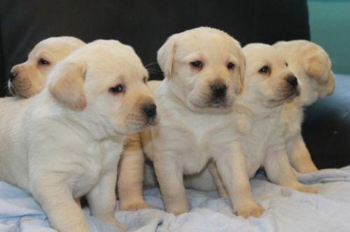Labrador Husky Puppies for sale in Arizona Mills, Tempe, AZ 85282, USA. price -USD