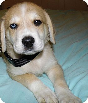 Labrador Husky Puppies for sale in Zimmerman, MN 55398, USA. price 450USD