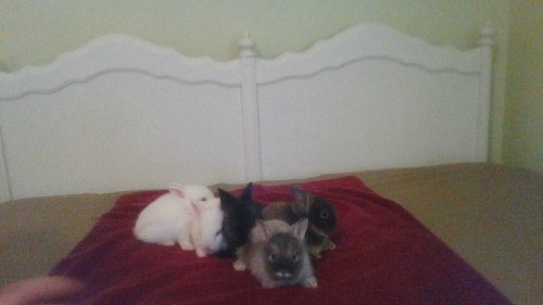 Lionhead rabbit Rabbits for sale in Wingdale, NY 12594, USA. price 50USD