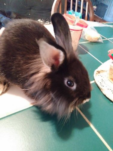 Lionhead rabbit Rabbits for sale in Willis, TX, USA. price -USD