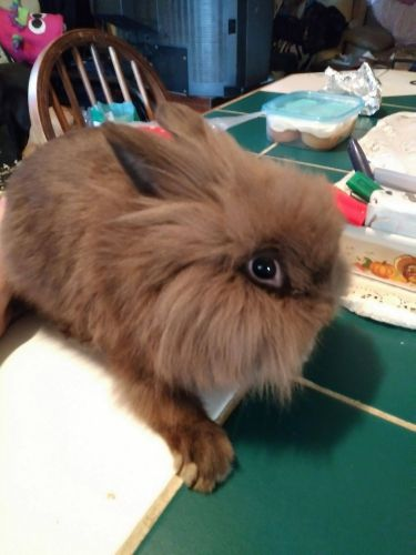 Lionhead rabbit Rabbits for sale in Willis, TX, USA. price 20USD
