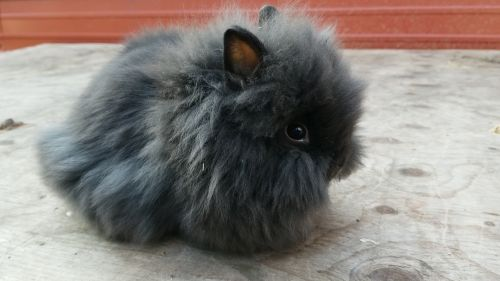 Lionhead rabbit Rabbits for sale in Mt Pleasant, MI 48858, USA. price 50USD