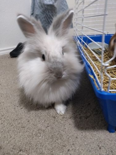 Lionhead rabbit Rabbits for sale in Elkton, MD 21921, USA. price 30USD