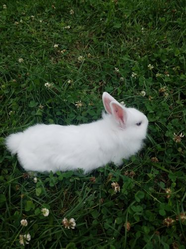 Lionhead rabbit Rabbits for sale in Hamilton Township, NJ, USA. price 30USD