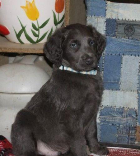Longhaired Weimaraner Puppies for sale in Big Rapids, MI 49307, USA. price 600USD