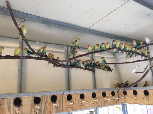 Lovebird Birds for sale in Hialeah, FL, USA. price 30USD