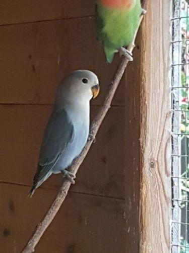 Lovebird Birds for sale in Los Angeles, CA, USA. price 500USD