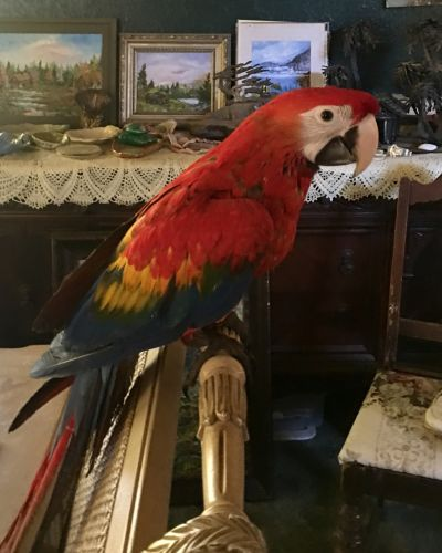 Macaw Birds for sale in Grants Pass, OR, USA. price 2000USD